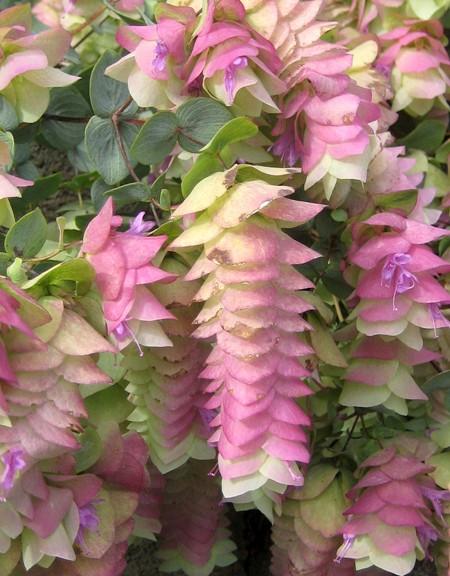 Oregano 'Kent Beauty' (Origanum rotundifolium x scabrum)