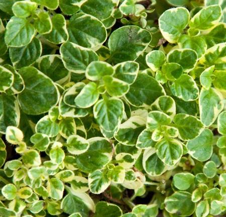 Oregano Variegated (Origanum vulgare variegata)