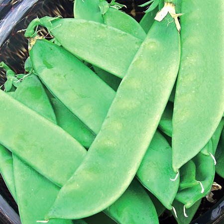Pea Avalanche Snow Pea
