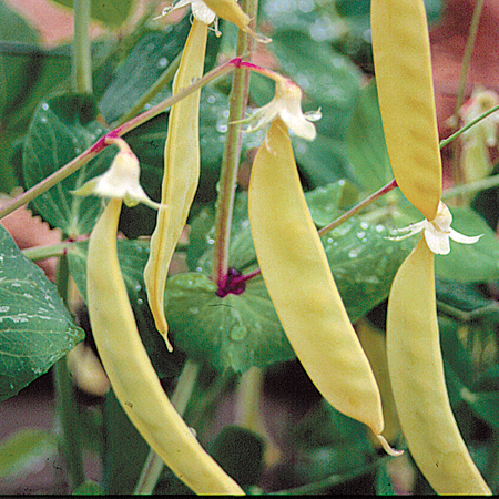 Pea Golden Sweet Edible Snow Pea