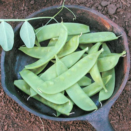 Pea 'Oregon Sugar Pod II' Snow Pea