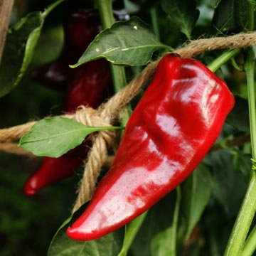 Pepper (Hot) 'Ancho Magnifico'