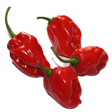 Pepper (Hot) 'Habanero Maya Red'