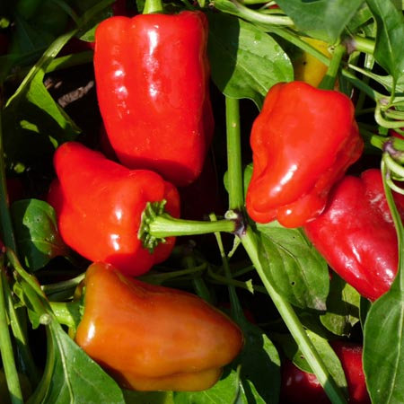 Pepper (Sweet) 'Cajun Belle' Bell