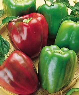 Pepper (Sweet) 'California Wonder' Bell