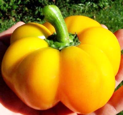 Heirloom Pepper (Sweet) 'Sweet Cheese Yellow' Pimient