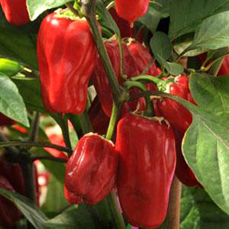 Pepper (Sweet) 'Sweet Heat'