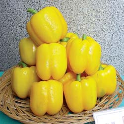Pepper (Sweet) 'Golden Star' Bell