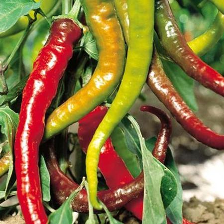 Heirloom Pepper (Hot) 'Aci Sivri Cayenne'