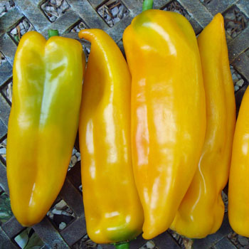 Heirloom Pepper (Sweet) 'Corno di Toro Yellow'