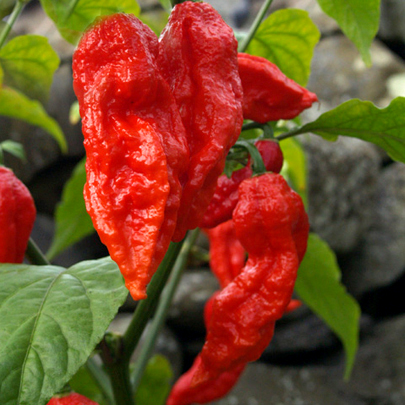 Heirloom Pepper (Hot) 'Bhut Jolokia' (Ghost pepper)