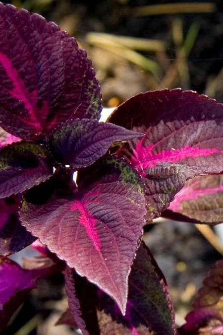 Perilla 'Magilla Purple'