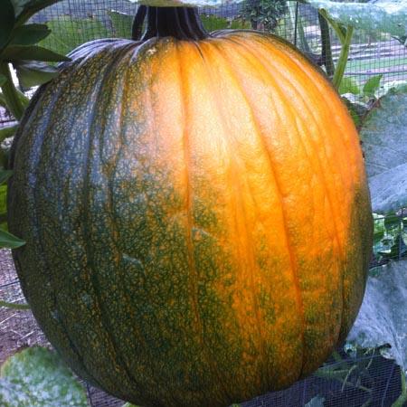Pumpkin 'Howden'