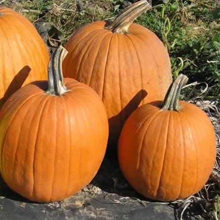 Pumpkin 'Magic Lantern'