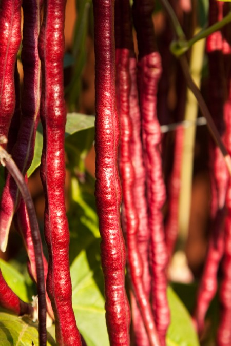 Heirloom Bean 'Red Noodle' Yard Long Pole BeanBean