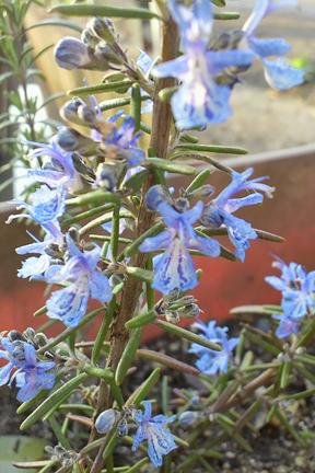 Rosemary 'Blue Lagoon' (Rosmarinus officinalis)