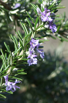 Rosemary 'Seven Seas' (Rosmarinus officinalis)