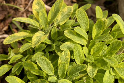 Sage 'Golden' (Salvia officinalis)