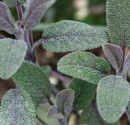 Sage Purple (Salvia officinalis purpurea)
