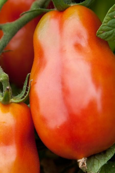 Tomato 'San Marzano Gigante' Sauce Tomato