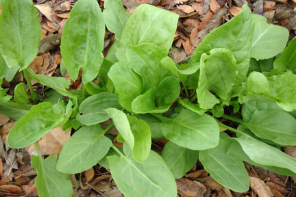 SORREL 'Large Leaf' (Rumex acetosa)