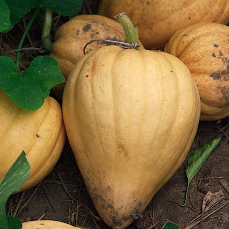 Heirloom Squash 'Thelma Sanders' Sweet Potato' Winter Squash