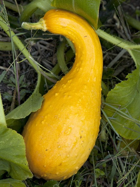Squash Heirloom 'Canada Crookneck'