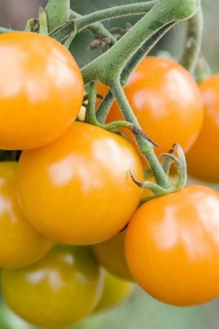 Tomato 'Sungold' Cherry Tomato