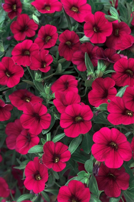 Petunia 'Superbells Red', Calibrachoa