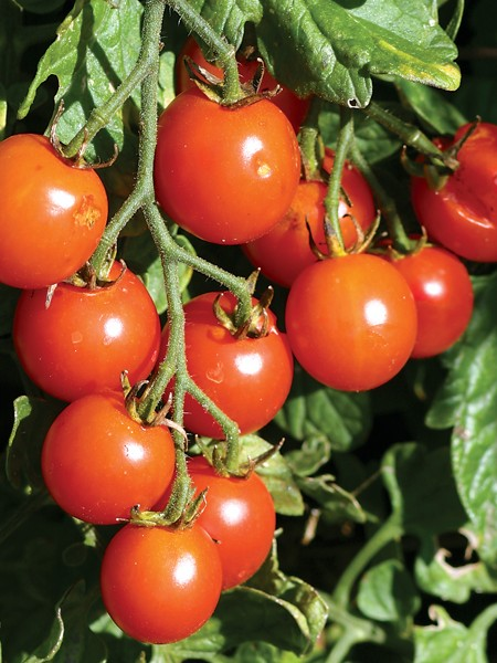 Tomato 'Sweet Million' Cherry Tomato