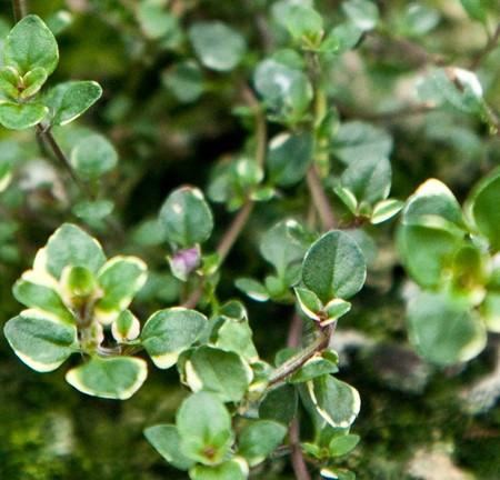 Thyme 'Foxley' (Thymus pulegioides)