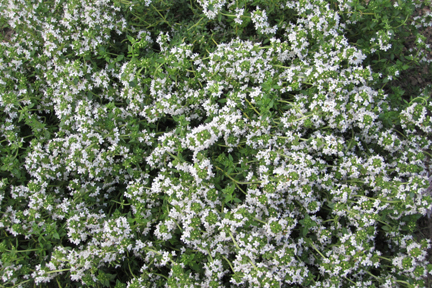 Thyme 'French' (Thymus vulgaris)