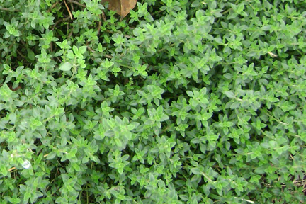 Thyme 'German Winter' (Thymus vulgaris)