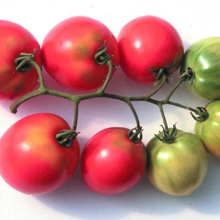 Tomato 'Early Cascade' Cluster Tomato