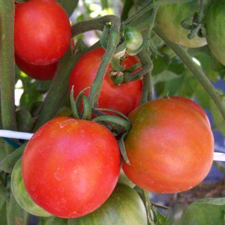 Heirloom Tomato 'Glacier'