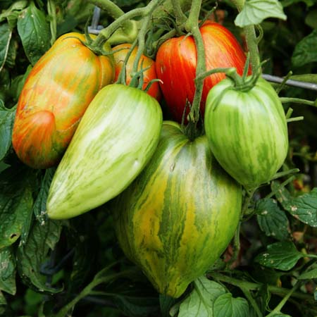Heirloom Tomato 'Striped Roman'