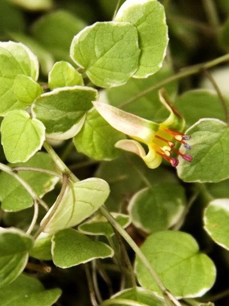 Trailing Fuchsia Procumbens Variegated