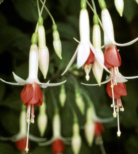 Upright fuchsia 'Hidcote Beauty'