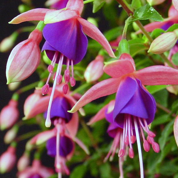 Upright Fuchsia Lambada