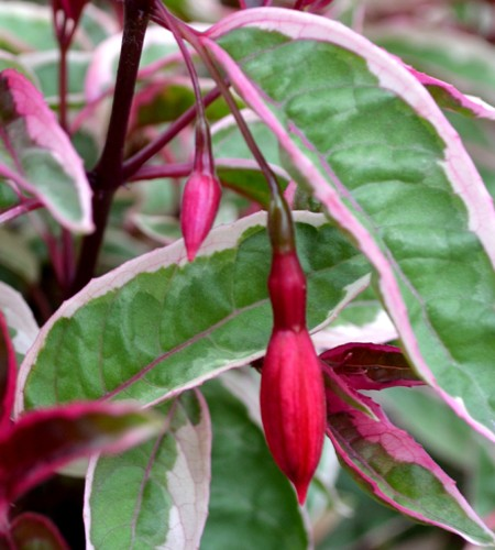 Upright fuchsia 'Tom West'