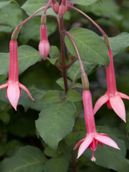Upright Fuchsia Traudchen Bonstedt
