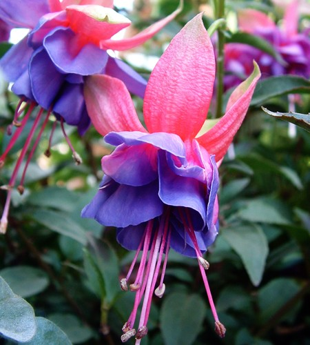 Upright fuchsia 'Winston Churchill'