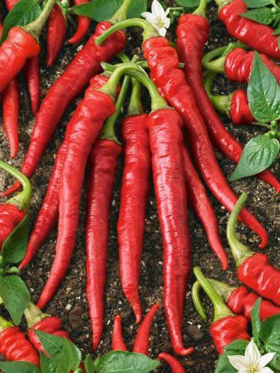 Heirloom Pepper (Hot) 'Long Red Cayenne'