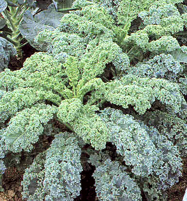 Kale 'Dwarf Blue Scotch'