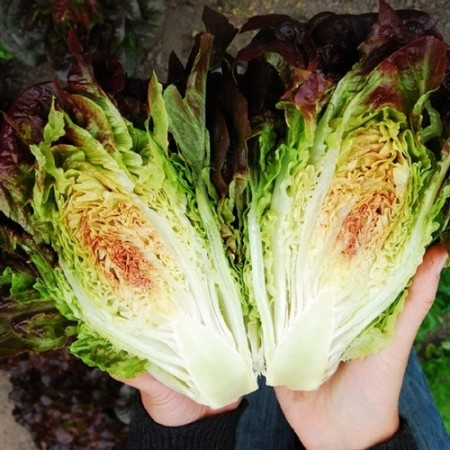 Lettuce 'Pomegranate Crunch' Mini Red Romaine