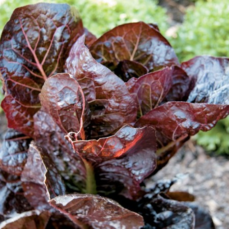 Lettuce 'Marshall' Red Romaine