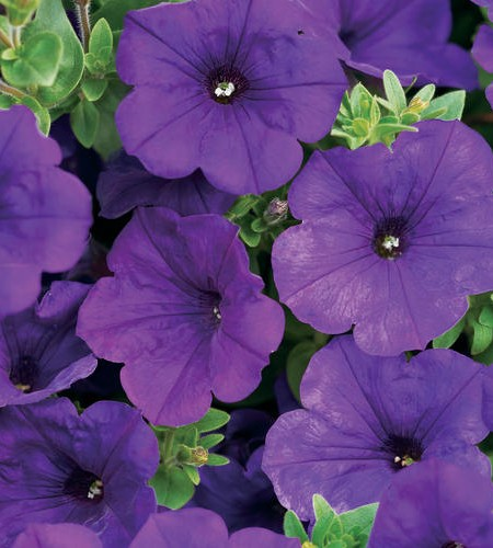 Petunia 'Supertunia Royal Velvet'