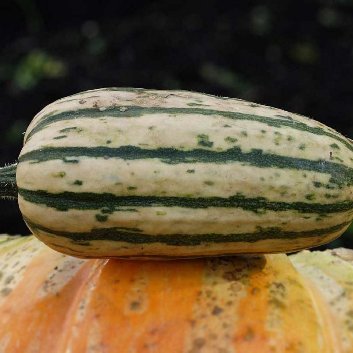 Squash (Winter) 'Honey Boat' Delicata