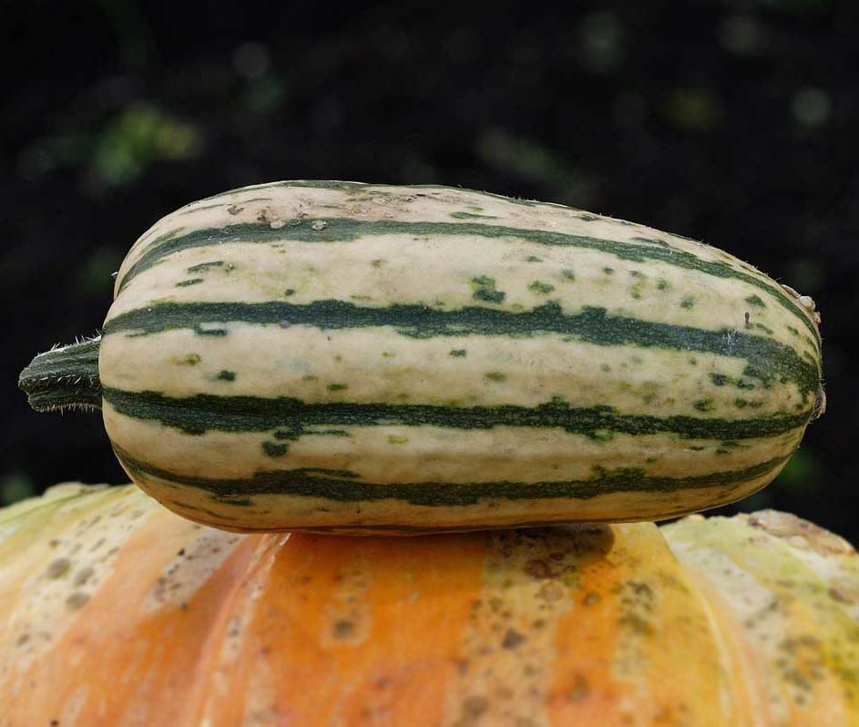 squash winter honey boat delicata description the sweetest delicata ...
