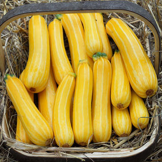 Squash (Summer) 'Sunstripe' Zucchini